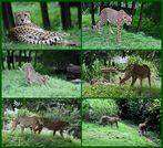 Geparden in Köln..
