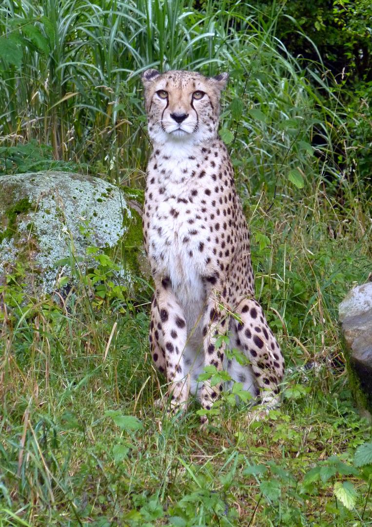 Geparden-Männchen Taboro im Kölner Zoo
