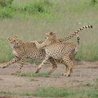 Geparden Spiel