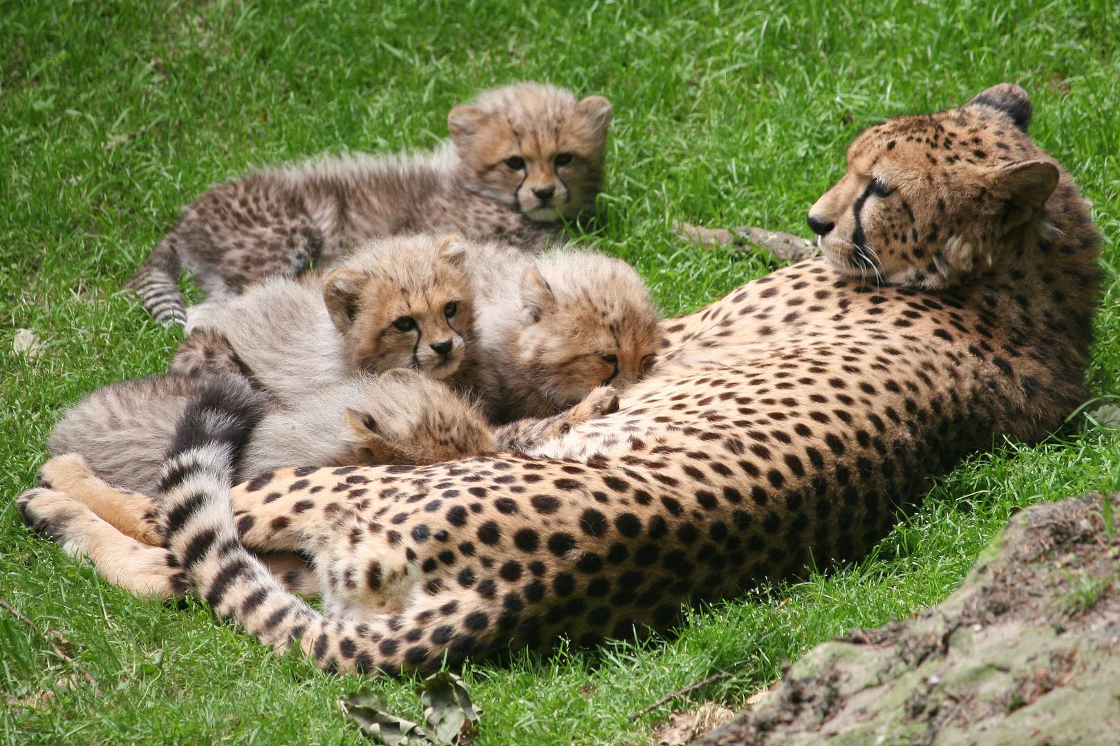 Gepardenbabies an der Milchbar