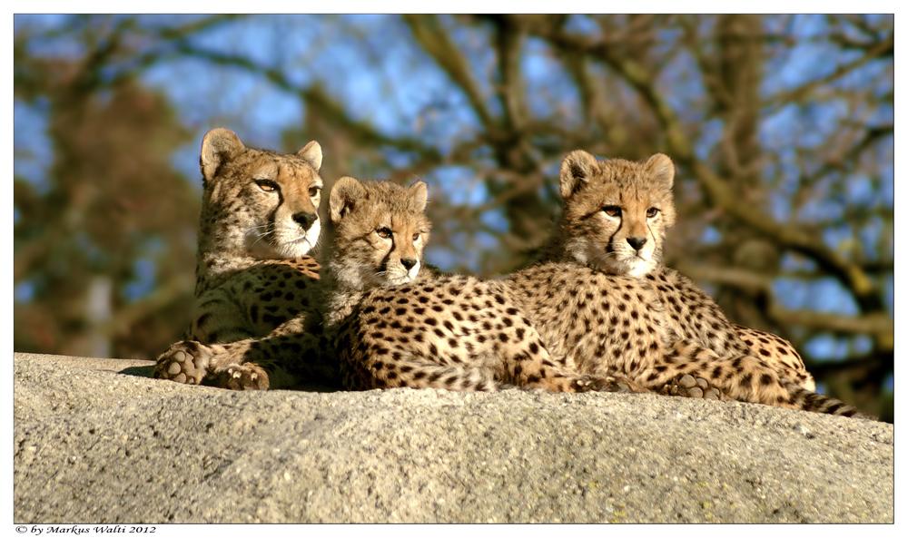 Gepardenfamilie...