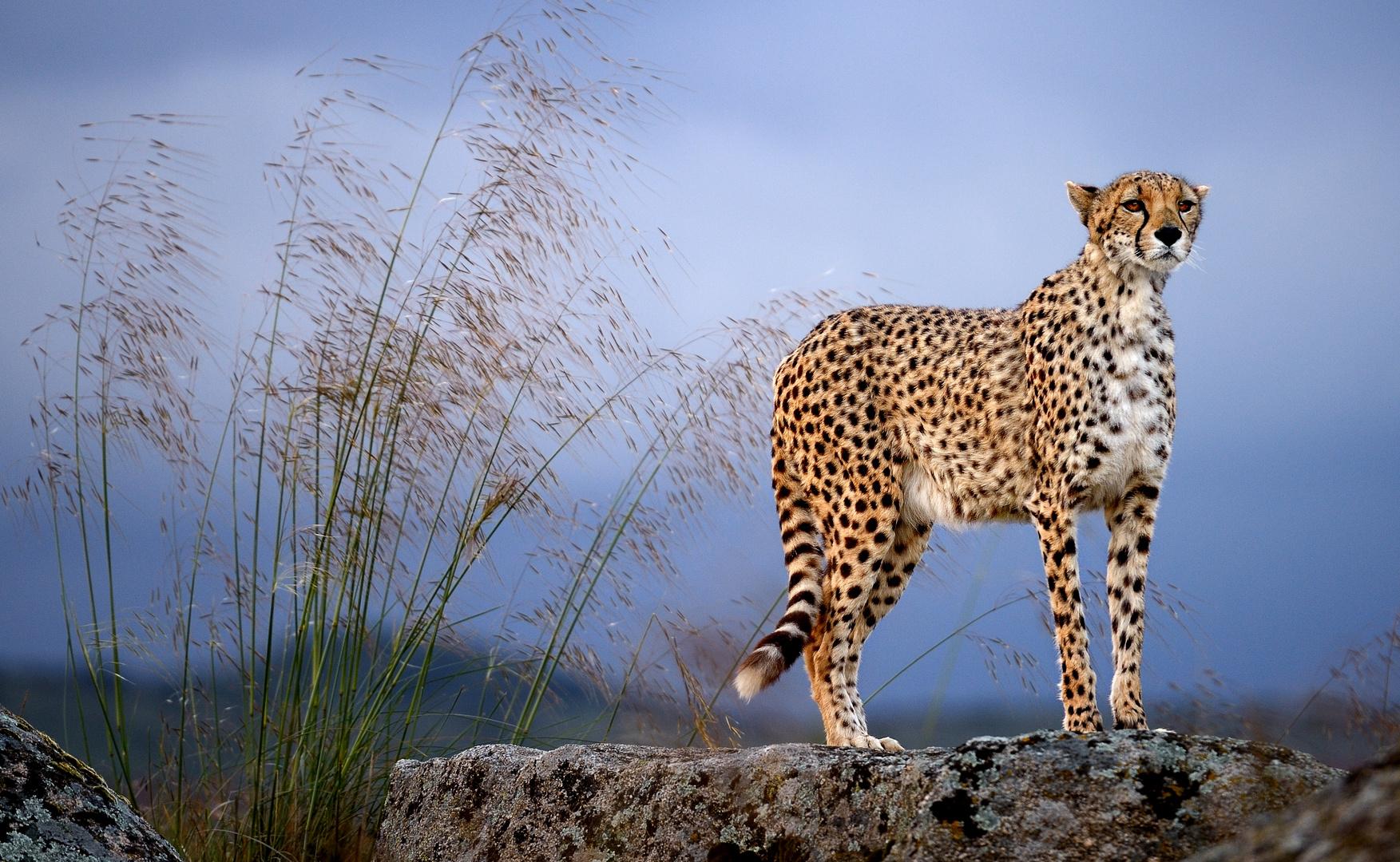 Gepardenfotografie in Spanien