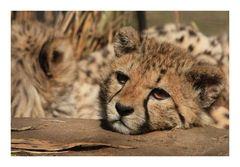Gepardenkind