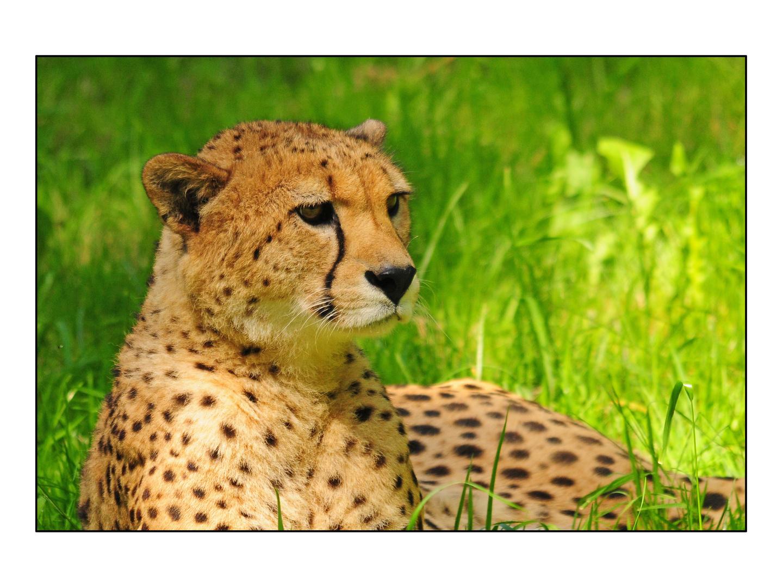 Gepardenportrait im neuen Gehege - Zoo Salzburg