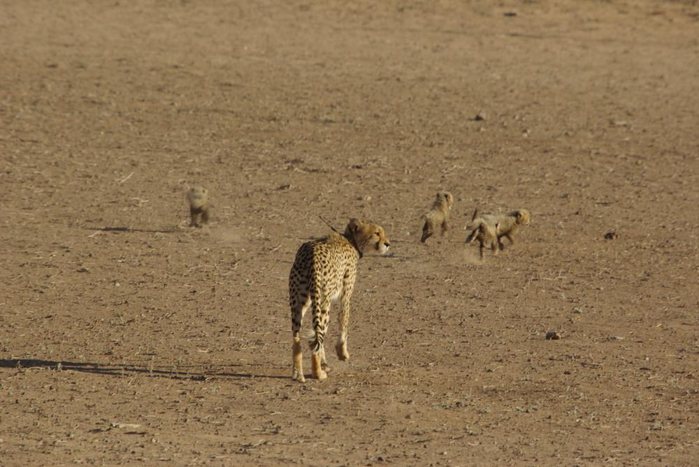 Gepardfamilie, bei Urikaroos, Kalahari, Eingang Mata Mata