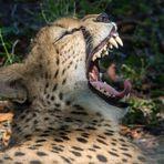 Gepardin Cimber