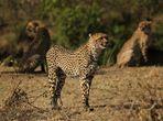 Gepardin mit ihren zwei Jungtieren