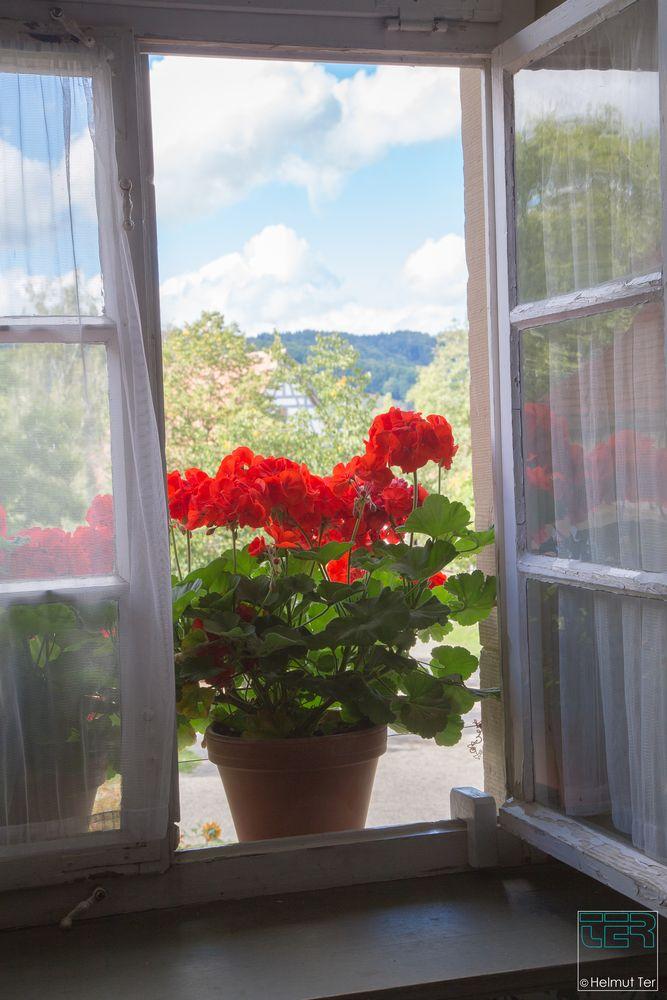 Geranien am Fenster