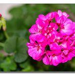 Geranien Blüten