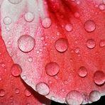 Geranienblüte nach dem Regen1