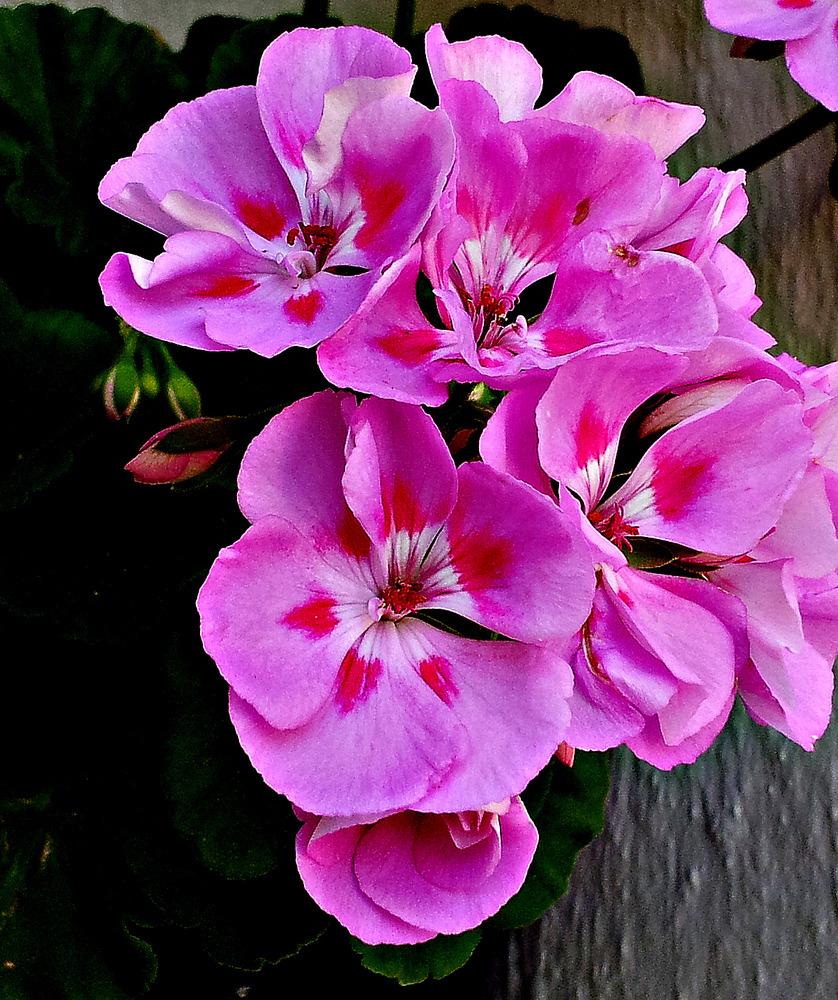 geranio rosado