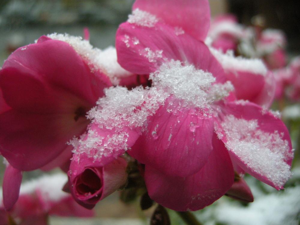 Geranio sotto la prima neve!