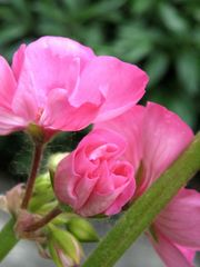 Geranio timido / Shy Carnation