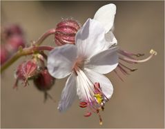 """Geranium macrorrhizum """"Spessart"""""""