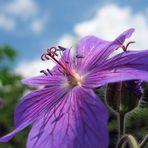 """Geranium magnificum """"Rosemoor"""""""