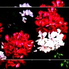 """Géraniums """"monégasques"""" sur fond noir"""