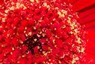 Gerbera Blütenstand
