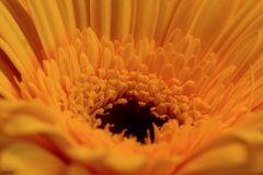 Gerbera intensiv gelb