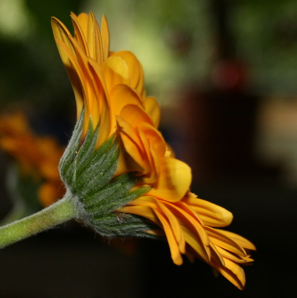 Gerbera mit Profil
