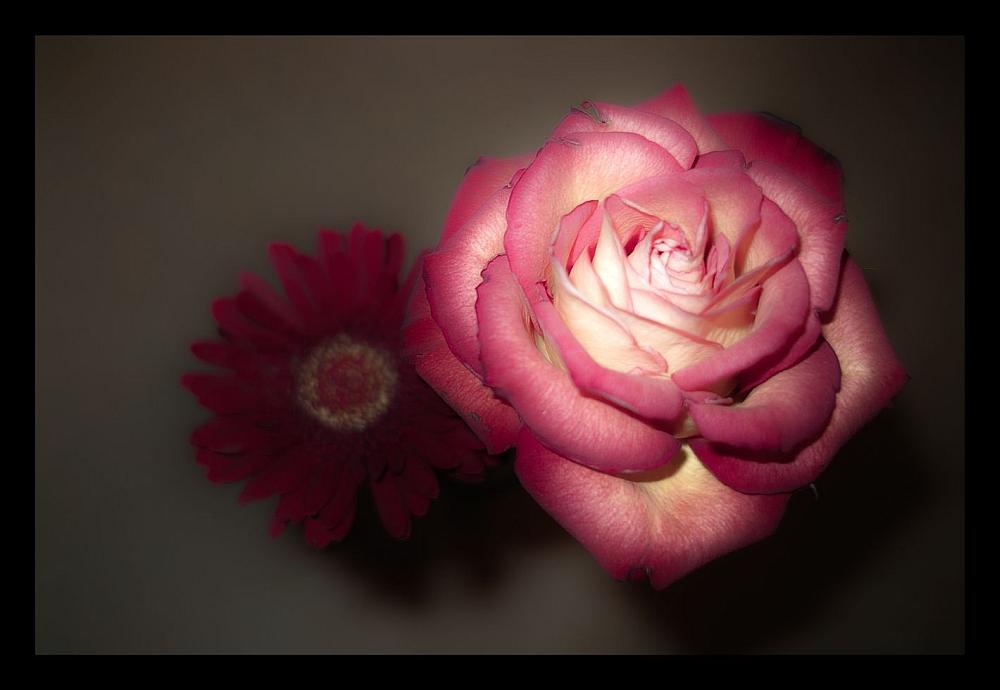 Gerbera und Rose