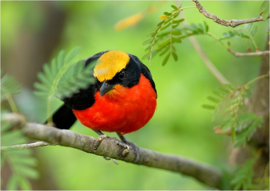 German Bird...
