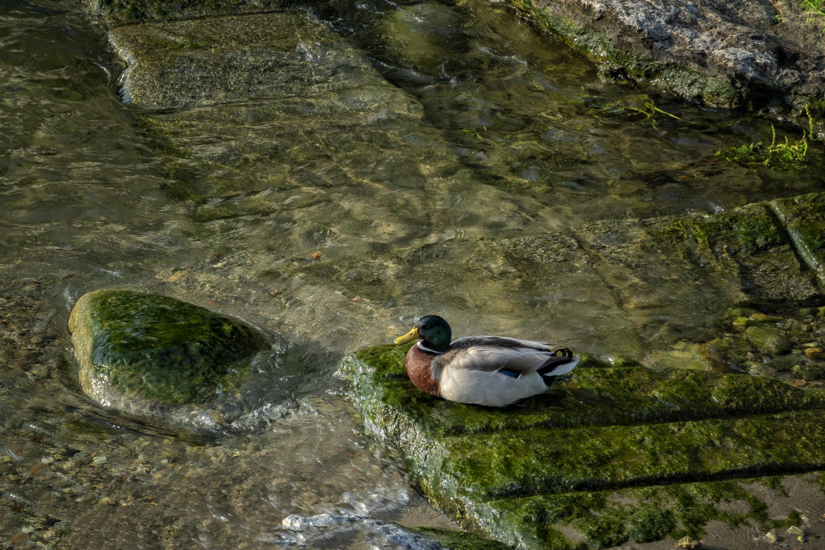Germano, lago Maggiore