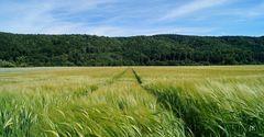 Gerstenfeld im Sommerwind