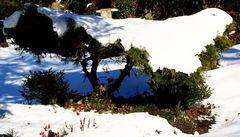 Geschützte Schneeglöckchen