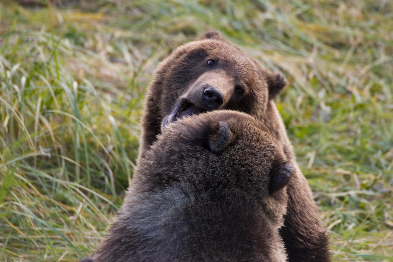 Geschwisterliebe auf Grizzlyart