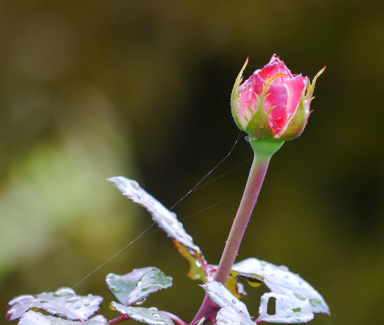 gesicherte Rose