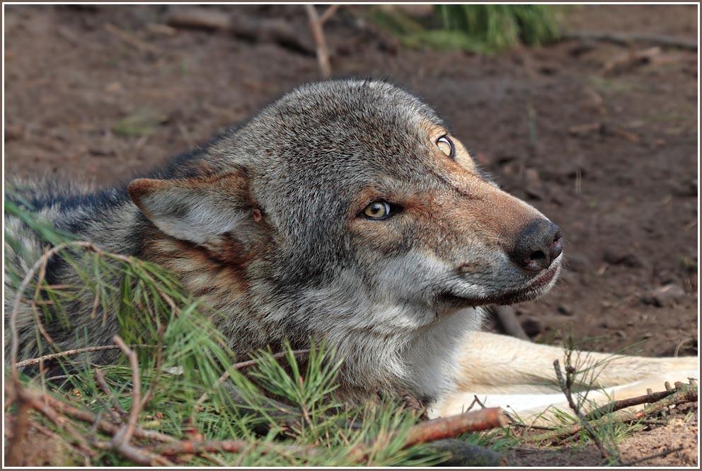 Gesicht eines Grauwolfs