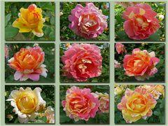 Gesichter der Malerrose (Rose des Cisterciens)