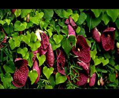 Gespensterblumen