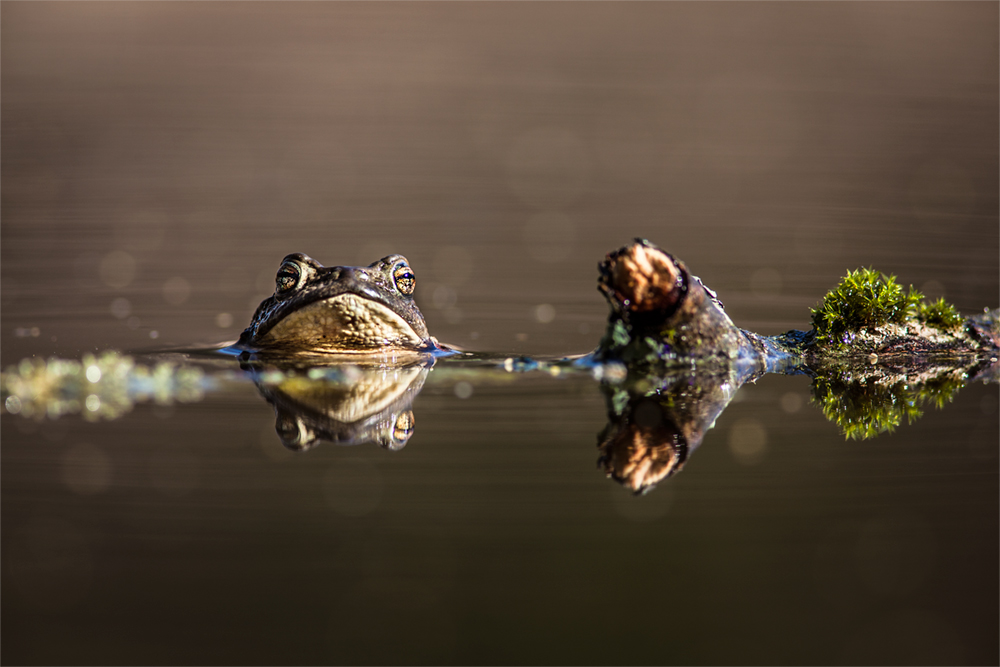 Gespiegelt - ein Stilleben mit Erdkröte ;-)