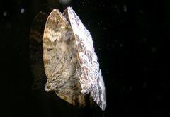 gespiegelter Schmetterling