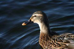 Gestatten - Frau Ente aus Steinhude