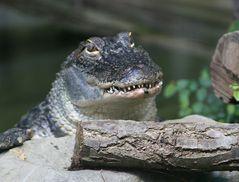Gestatten ich bin ein Kroko