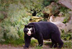 Gestatten, mein Name ist Bär...Brillenbär