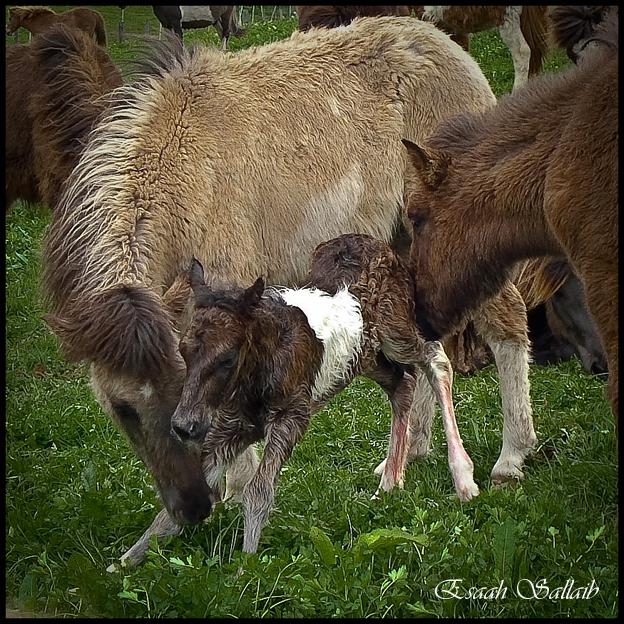 Gestützt von älteren Islandpferde-Kindern...