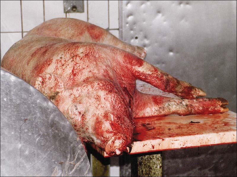 getötetes Schwein, vor der Schlachtung