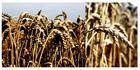 -- Getreide --