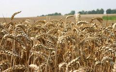 Getreide, das Gold der Bauern