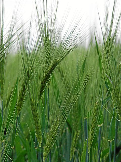 Getreide I