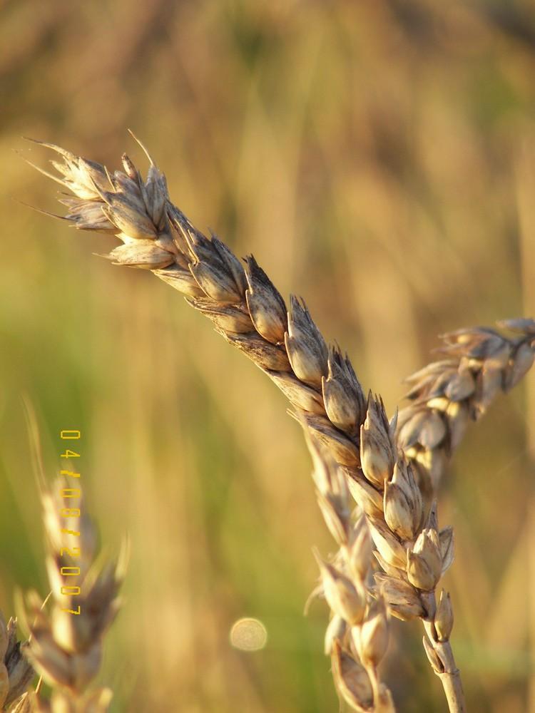 Getreide im Herbst
