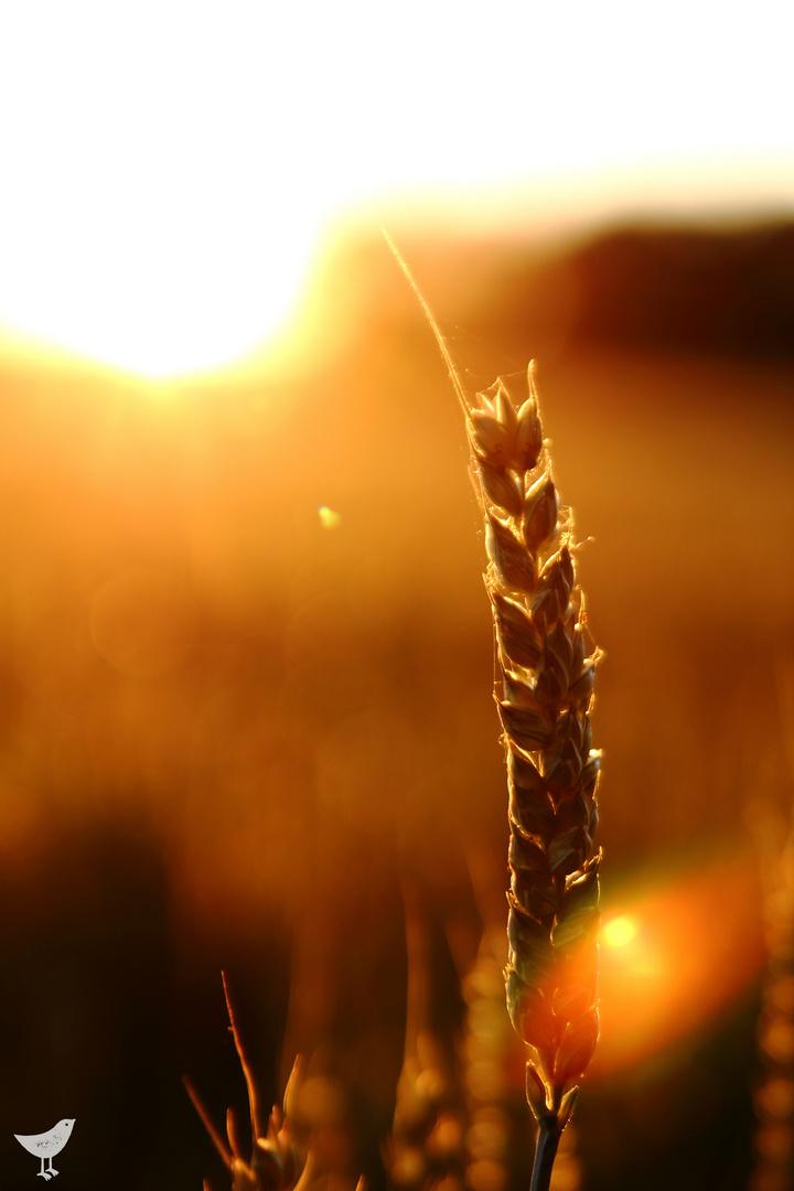 Getreide im Sonnenuntergang