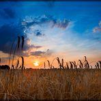 Getreide im Sonnenunteruntergang