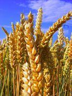 Getreide ( nur was für eines?)