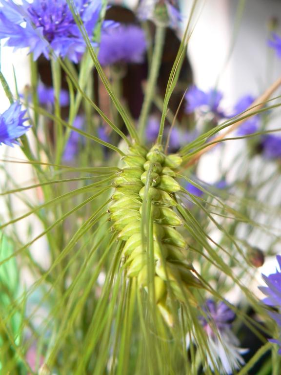 Getreide und Kornblume 2
