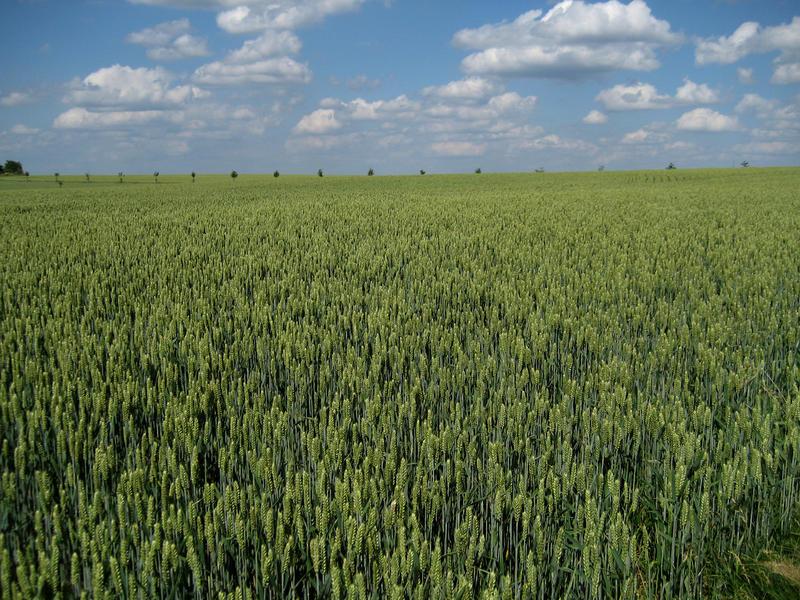 Getreidefeld bei Frischborn