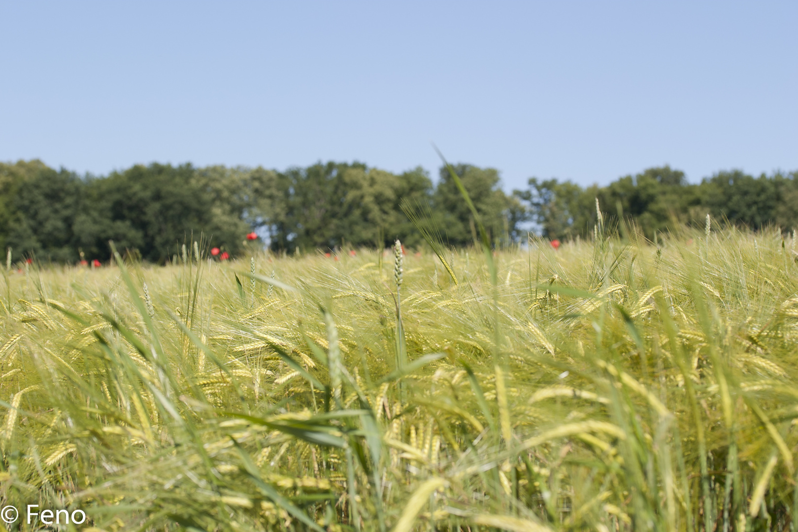 Getreidefeld im Frühsommer